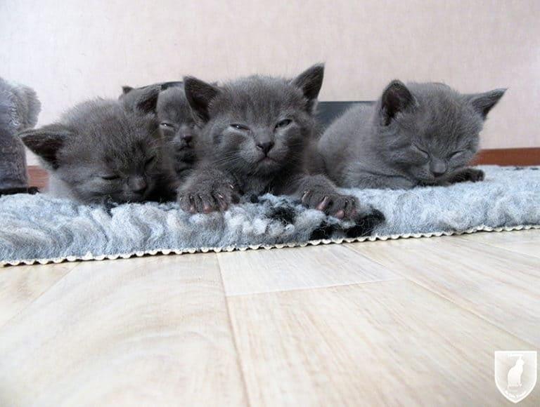 Kartuizer kittens Pontus,Pollux, Pebbles en Phara du Gris Tendre